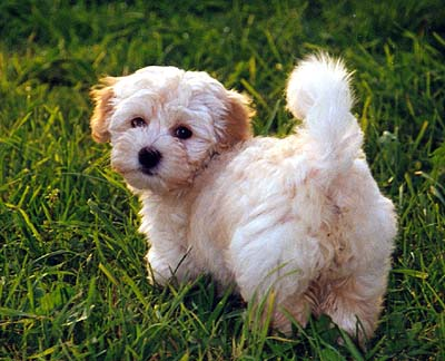 Havanese Dogs Puppies